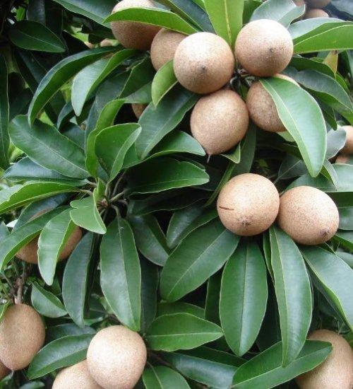 sapota-chikku-fruit-tree