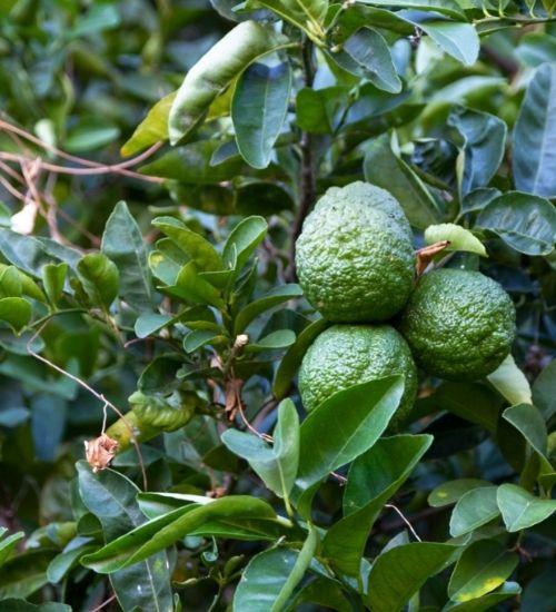 narthangai-fruit-tree
