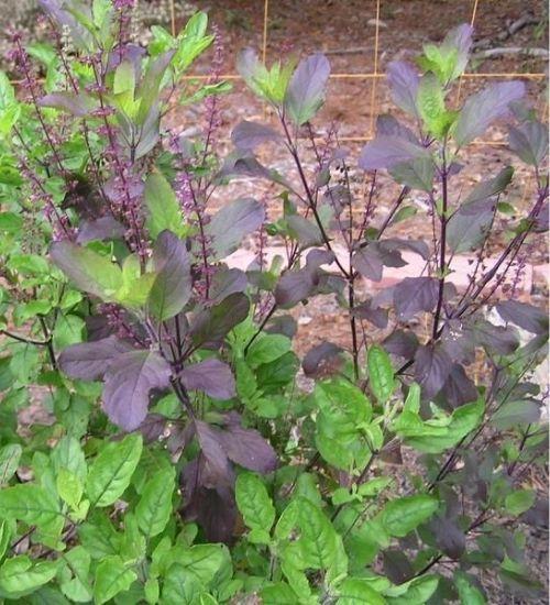 holy-basil-karunthulasi-herbal-plant-for-sale