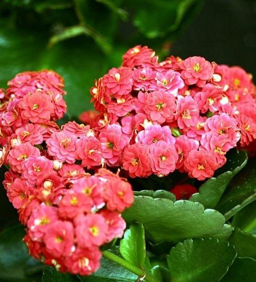 kalanchoe-flowering-plant