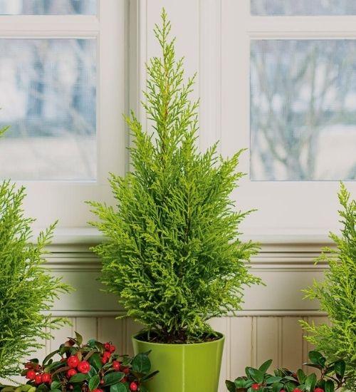 lemon-cypress-outdoor-plant