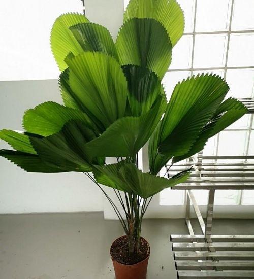 ruffled-fan-palm