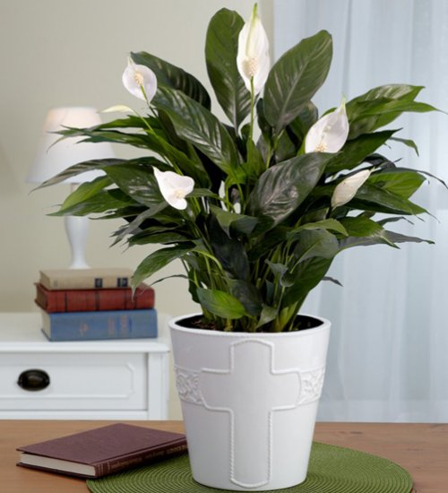 peace lilly plant for sale green orchid