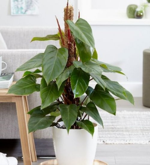 philodendron stress reliever