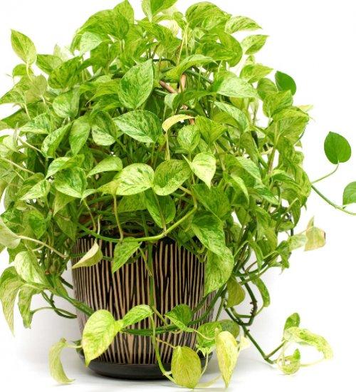 pothos (money plant) air purifier