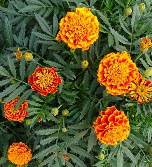 samanthi-flowering-plant-gifts