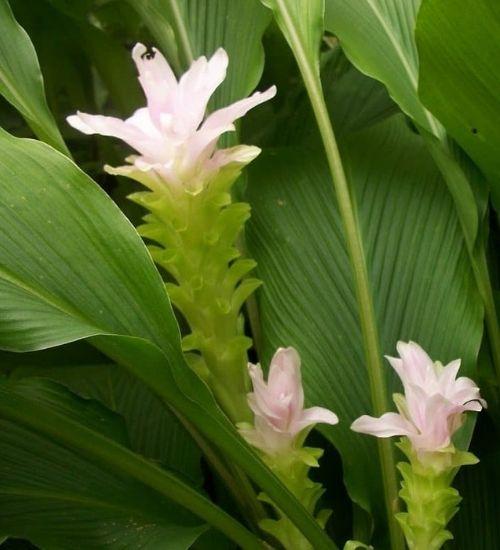 turmeric-plant-herbal