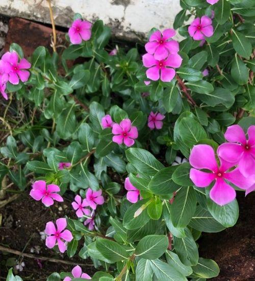 cathranthus-roseus