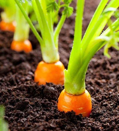 vegetable-plant-carrot