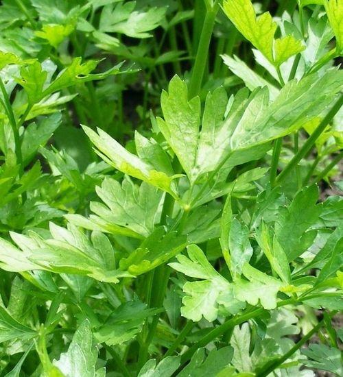 celery-herbal-plant