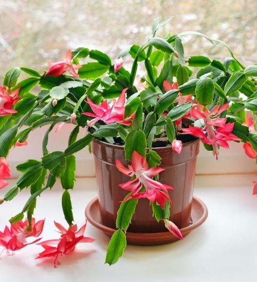 christmas-cactus-flowering-plant