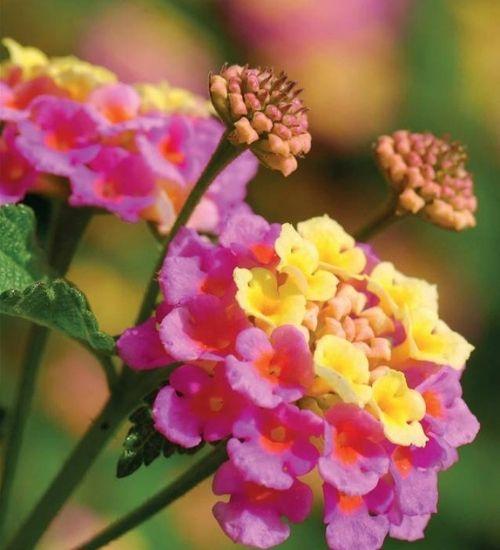 lantana-gifts-plant