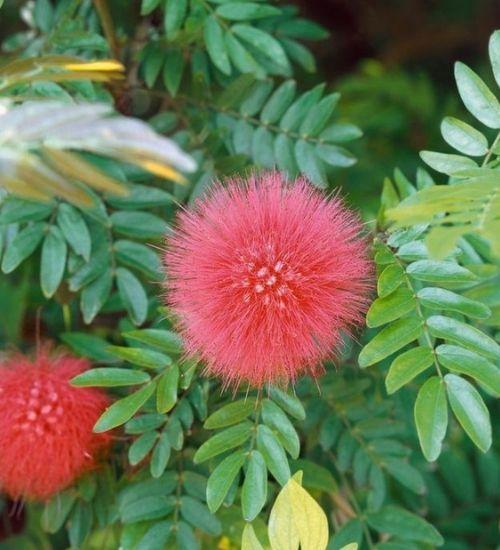 Calliandra-haematocephala-flowering-plant