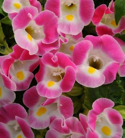 wishbone-flowering-plant-gifts