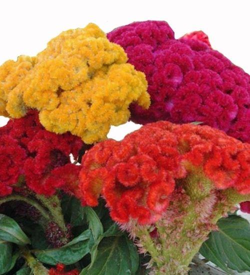 cockscomb-celosia-flowering-plant