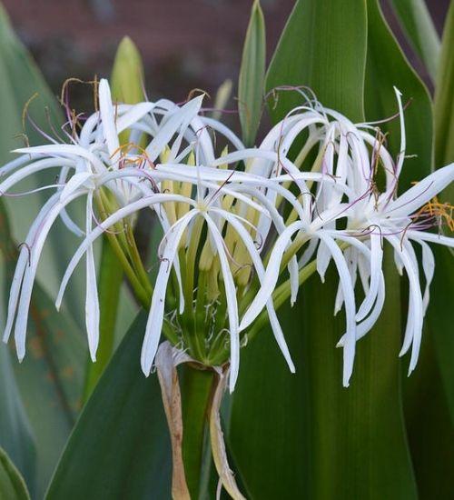 crinum-lily-indoor-plant