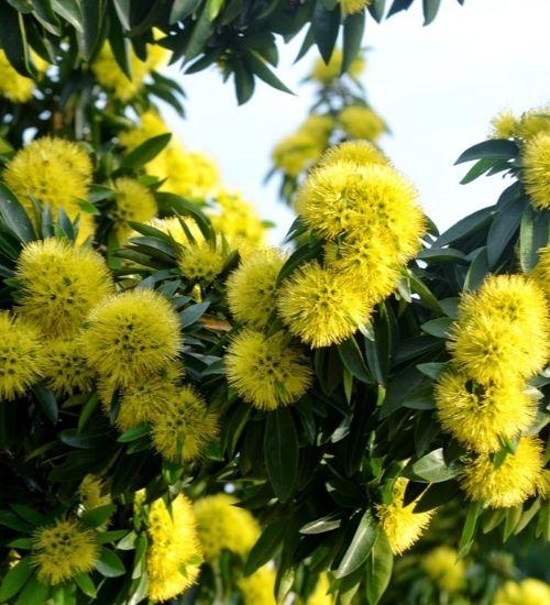 golden-penda-flowering-plant