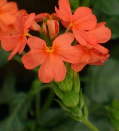 kanakambaram-flowering-plant