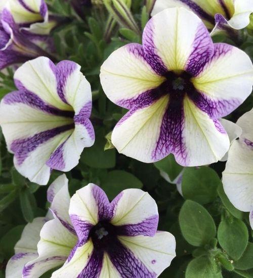 petunnia-flowering-plant-gowrivakkam-chennai