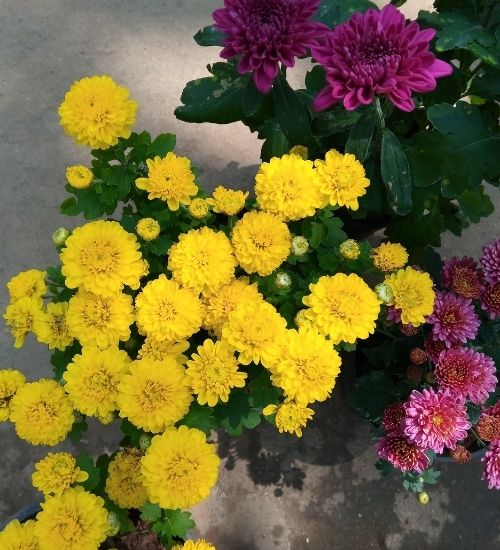 chrysanthemum-samanthi-flowering-plant