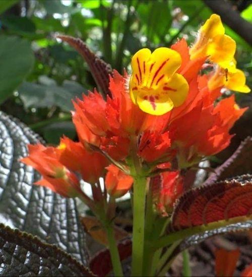 squarestem-flowering-plant
