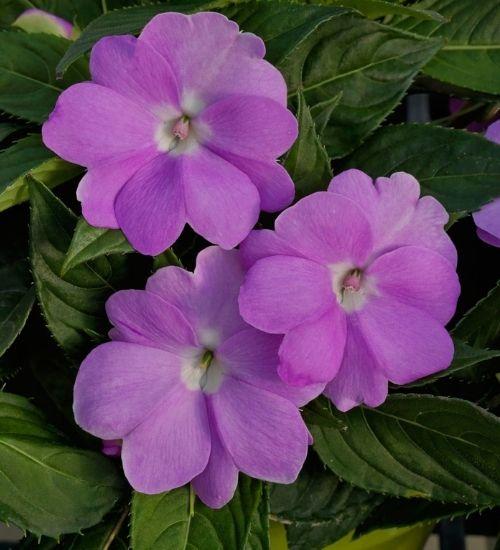 impatiens-flowering-indoor-plant