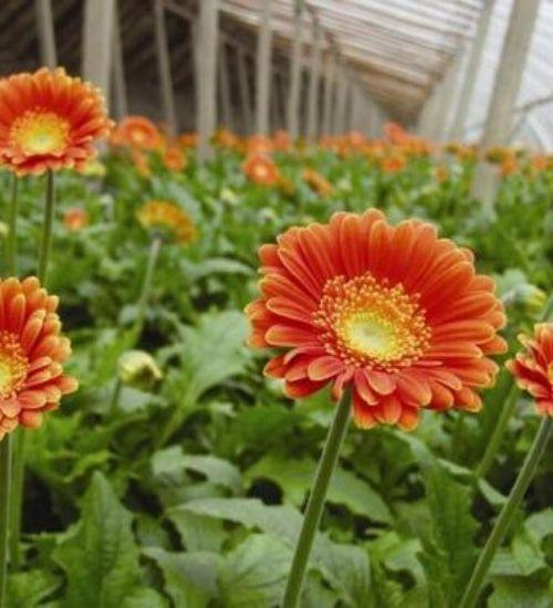 oxygen-plant-gerbera-daisy