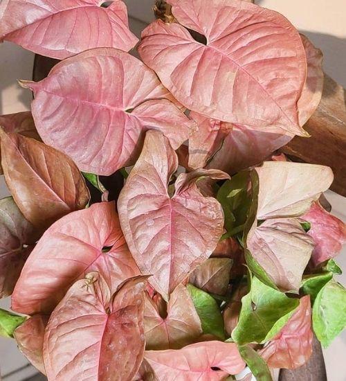 syngonium-oxygen-generated-indoor-plant