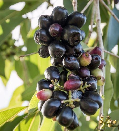 black-plum-java-plum-jamun