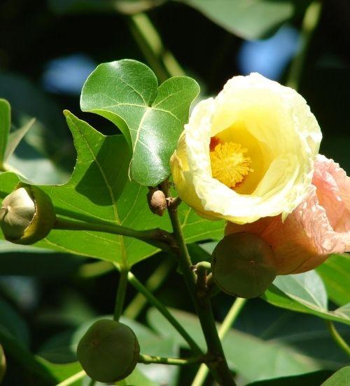 poovarasan-tree