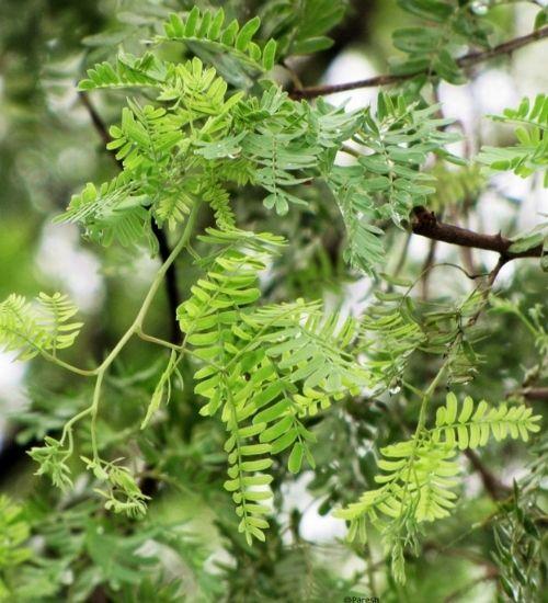 shami-temple-tree